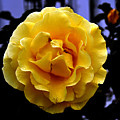 Wet Yellow Rose  by Clayton Bruster