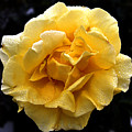 Wet Yellow Rose II by Clayton Bruster