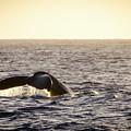 Whale Fluke by Daniel Murphy