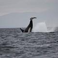 Whale by John Pensis