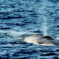 Whale Watching Balenottera Comune 1 by Enrico Pelos