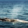 Whale Watching Balenottera Comune 5 by Enrico Pelos