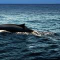 Whale Watching Balenottera Comune 6 by Enrico Pelos