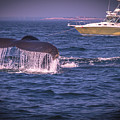 Whale Watching - Humpback Whale 3 by Claudia M Photography