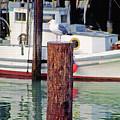 Wharf Gull by Steve Ohlsen