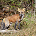 What Does The Fox Say by Jack Bell