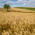 Wheat And A Tree by Pati Photography