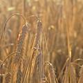 Wheat by Delia Palmer