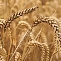 Wheat Ears 1 by Marcin Rogozinski