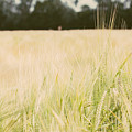 Wheat Field Closeup by Pati Photography