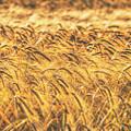 Wheat Field by Nigel Bangert