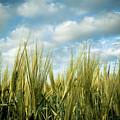 Wheat Field by Nir Ben-Yosef
