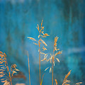 Wheat On Blue 1 by Marilyn Hunt