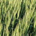Wheat by Peter Bouman