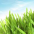 Wheatgrass Against A White by Sandra Cunningham