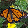When The Rain Clears Monarch Butterfly by Trinket's  Legacy