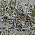 Whimbrel by Larry Linton