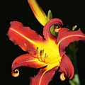 Whimsical Daylily by Tammy Pool