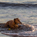 Whippet Cooling Off by Shawn Jeffries