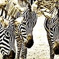 Whispering Zebras by Caroline Reyes-Loughrey
