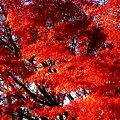 Whispers Of A Japanese Maple by Juliette Carter-MarShall