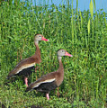 Whistling Ducks by Farol Tomson