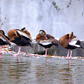Whistling Ducks Grooming by Roy Williams