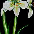 White Amaryllis by Elizabeth Robinette Tyndall