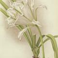 White Amaryllis   Ismene Andreana by English School