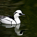 White And Black Duck by Douglas Barnett