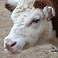 White And Brown Heifer Dairy Cow by DejaVu Designs
