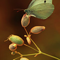 White And Green Butterfly On Dried Flowers by Jaroslaw Blaminsky
