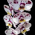 White And Magenta Orchids by Bob Slitzan