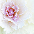 White And Pink Ornamental Kale by Mitch Spence