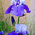White And Purple Irises At Pilgrim Place In Claremont-california- by Ruth Hager