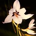 White And Purple Lily by Debra Lynch