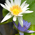 White And Purple Lotus Flowers At Golden Mount by AEC -  Abundant Eight Creative