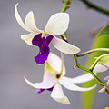 White And Purple Orchid by Steve Samples