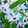 White And Purple Orchids In Greenhouse At Pilgrim Place In Claremont-california by Ruth Hager