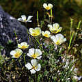 White And Yellow Poppies 1 by Linda Brody