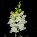 White And Yellow Snapdragon by Kevin Gladwell