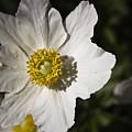 White Anemone by Teresa Mucha