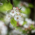 White Apple Flowers by DesignBoard Photography