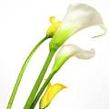 White Arums In Studio. Flowers. by Bernard Jaubert