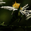 White Aster by Linda Shafer