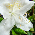 White Azalea Flower 9 Azaleas Raindrops Spring Art Prints Baslee Troutman by Baslee Troutman