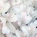 White Azaleas 1 by J M Farris Photography
