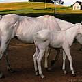 White Baby Horse by Jill Baker