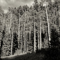 White-barked Birch Forest 3 by Bob Phillips
