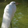 White Beauty Of The Marsh by Ann Keisling
